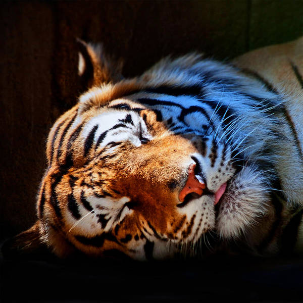 Photograph - Tiger 06 by Ingrid Smith-Johnsen