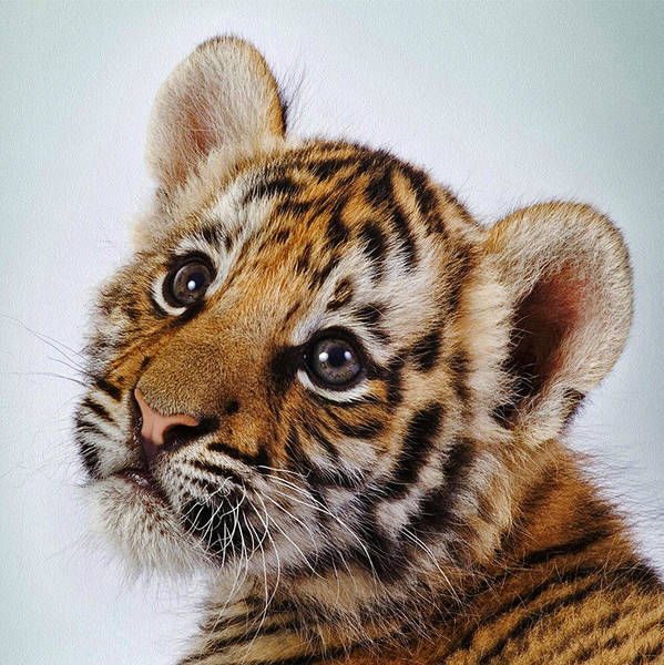 Photograph - Tiger 07 by Ingrid Smith-Johnsen