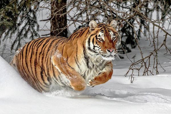 Photograph - Tiger Ambush by Wes and Dotty Weber