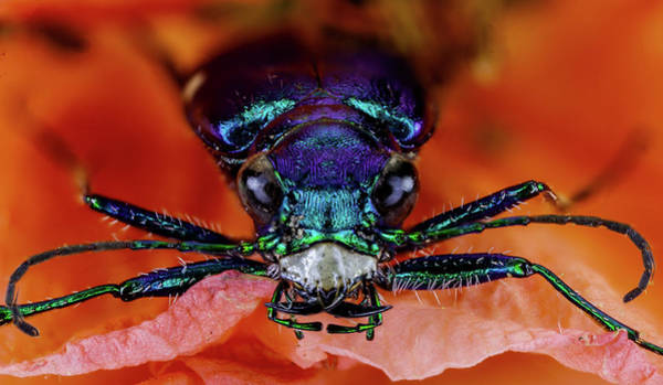 Photograph - Tiger Beetle 3x by Gary Shepard