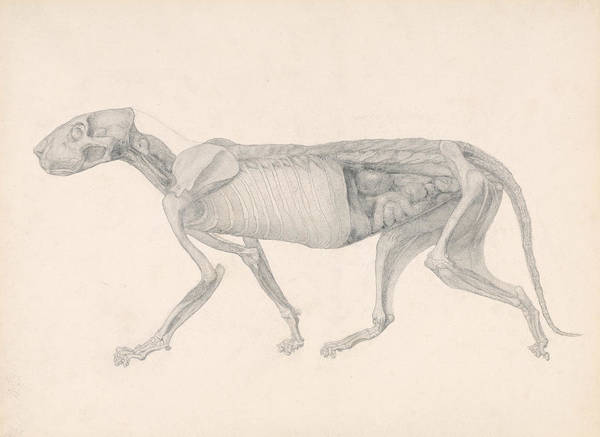 Drawing - Tiger Body, Lateral View by George Stubbs