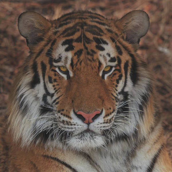 Photograph - Tiger by Brian Cross