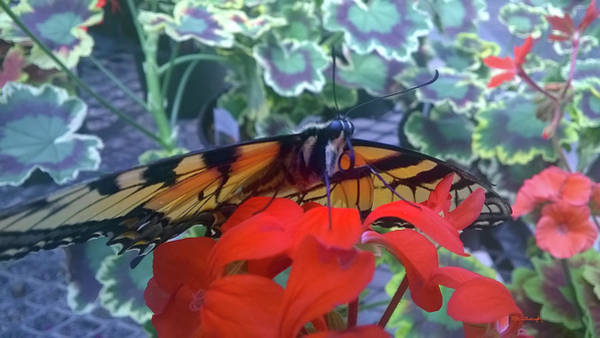 Photograph - Tiger Butterfly 1 by Duane McCullough