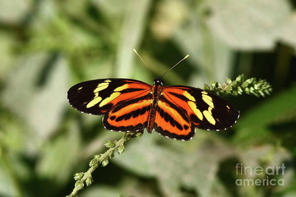 Photograph - Tiger Crescent Butterfly Eresia Eunice by James Brunker