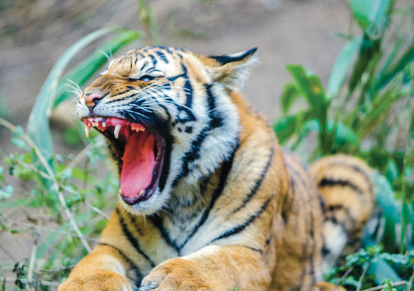 Photograph - Tiger Cub Showing Lots Of Teeth by William Bitman