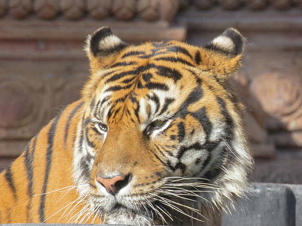 Photograph - Tiger by Dart and Suze Humeston