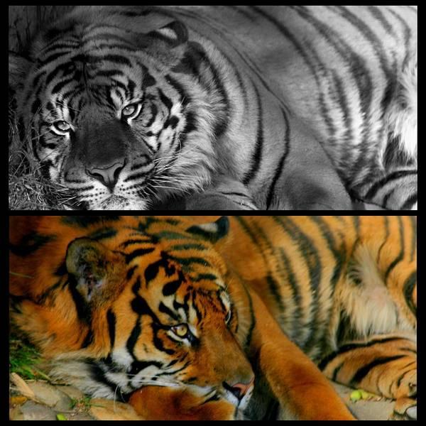 Photograph - Tiger Den by Brad Scott