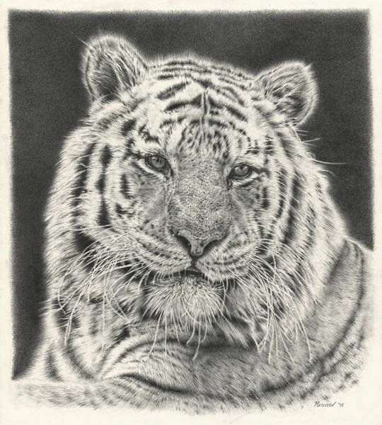 Drawing - Tiger Drawing by Remrov