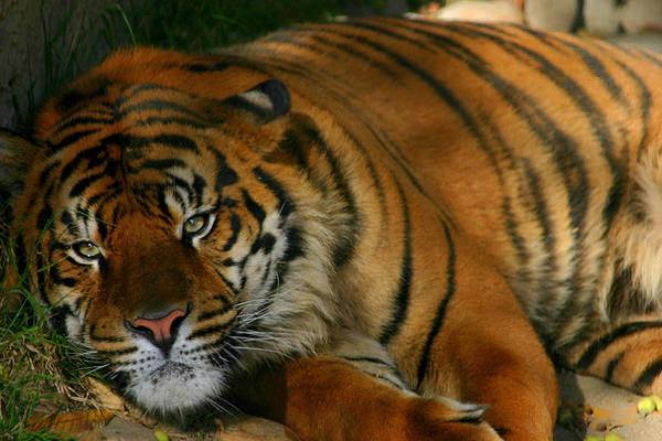 Photograph - Tiger Eyes by Brad Scott