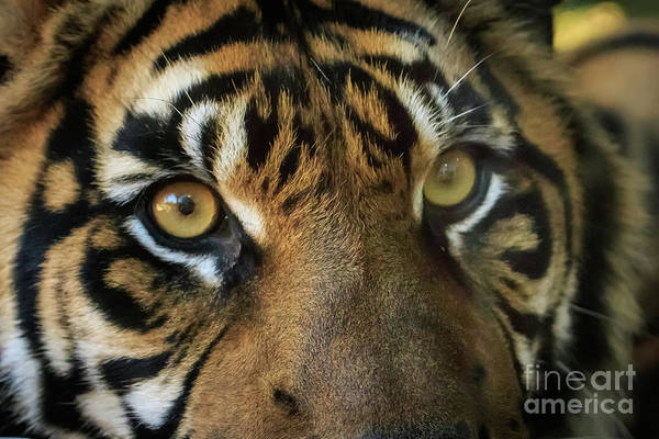 Photograph - Tiger Eyes by Richard Smith
