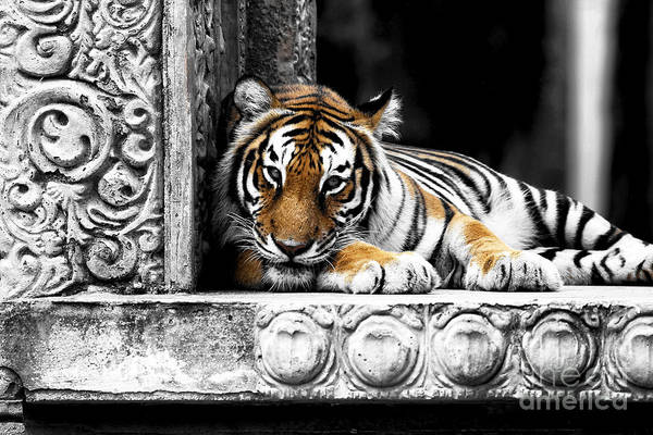 Photograph - Tiger Fusion by John Rizzuto