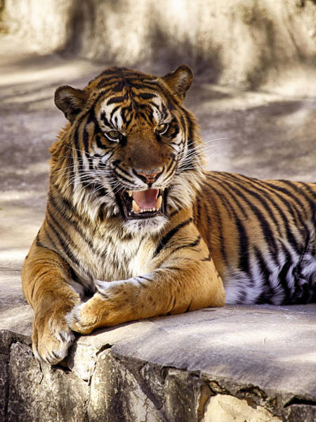 Photograph - Tiger Grin by Charles McKelroy