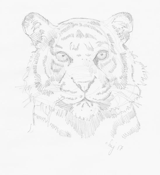 Drawing - Tiger Head Drawing by Mike Jory