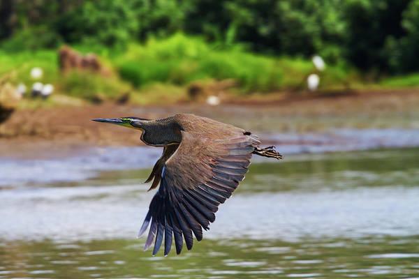 Photograph - Tiger Heron by Arthur Dodd