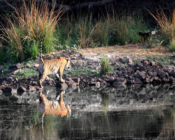 Wall Art - Photograph - Tiger In Ranthambore National Park Rajasthan by Jim Kuhlmann