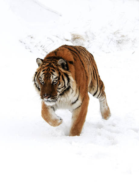 Photograph - Tiger In Snow by Scott Read