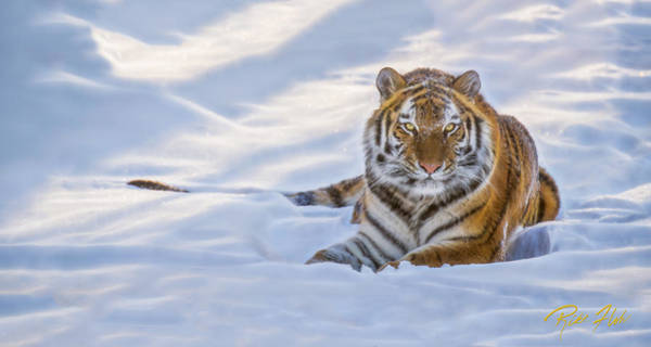 Photograph - Tiger In The Snow by Rikk Flohr