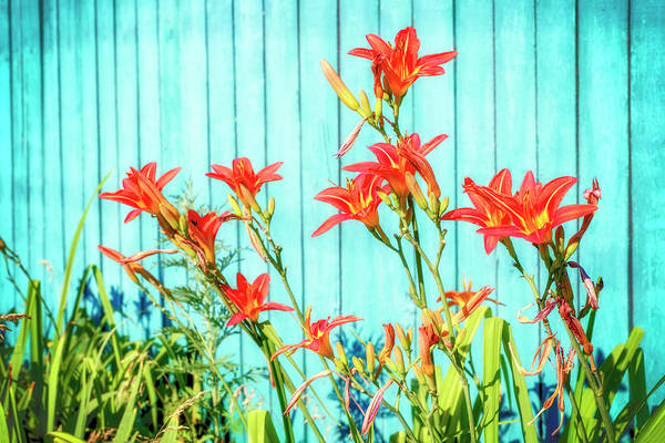 Photograph - Tiger Lily And Rustic Blue Wood by John Williams