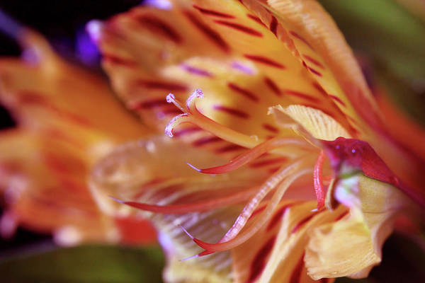 Photograph - Tiger Lily Abstract by Angela Murdock