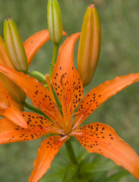 Tigerlily Wall Art - Photograph - Tiger Lily by Deborah Molitoris