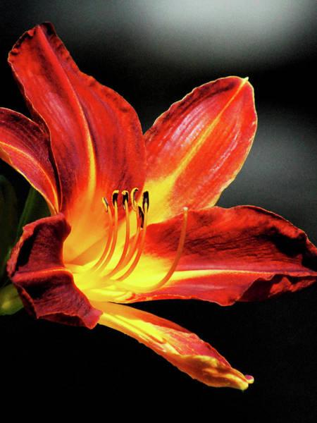 Photograph - Tiger Lily by Howard Bagley