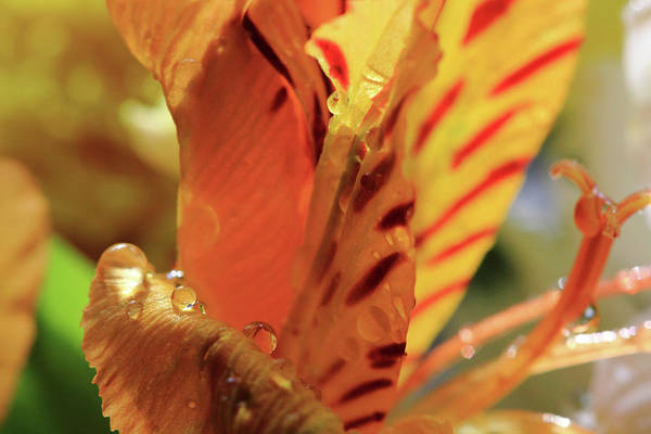 Photograph - Tiger Lily Stripes by Angela Murdock