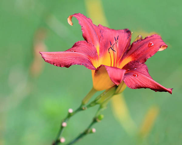 Photograph - Tiger Lily With Raindrops by Angela Murdock