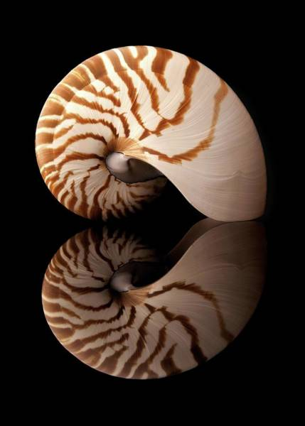 Photograph - Tiger Nautilus Shell And Reflection by Jim Hughes