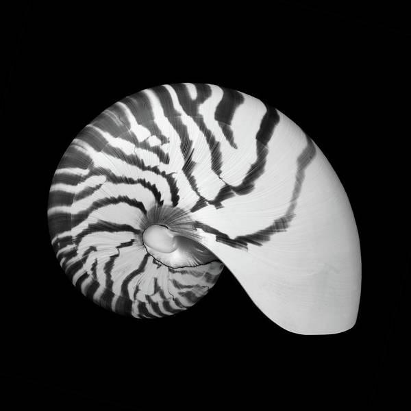 Photograph - Tiger Nautilus Shell by Jim Hughes