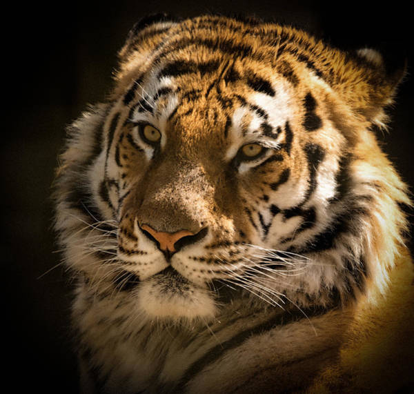 Photograph - Tiger Portrait by Chris Boulton