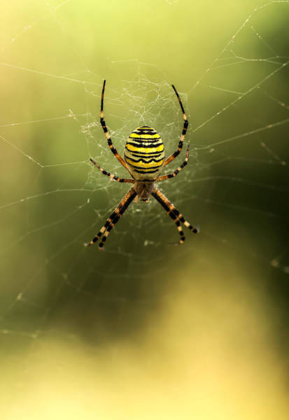 Nature Wall Art - Photograph - Tiger Spider by Jaroslaw Blaminsky