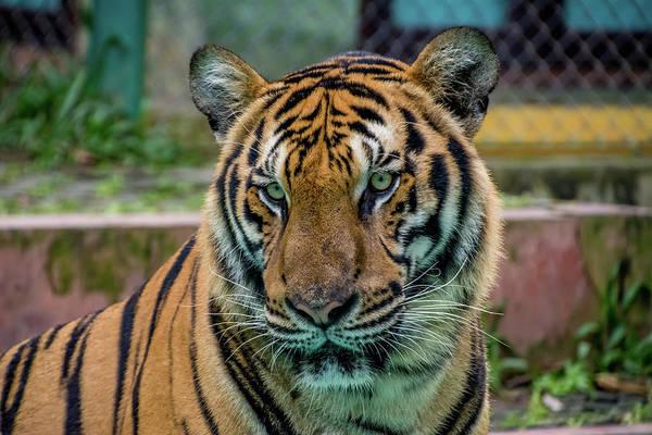 Tigger Wall Art - Photograph - Tiger Stare Down by Chris Bridges
