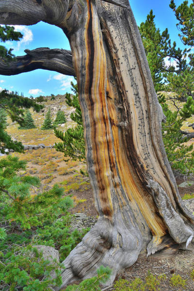 Photograph - Tiger Stripe Bristlecone by Ray Mathis