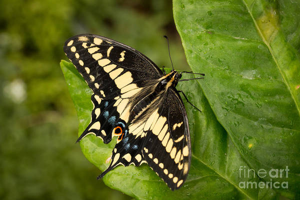 Photograph - Anise Swallowtail Butterfly by Ana V Ramirez