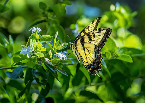 Photograph - Tiger Swallowtail Butterfly by Bill Dodsworth