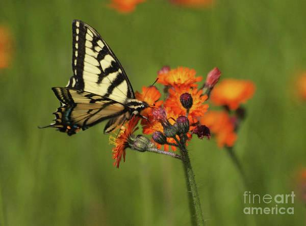 Photograph - Tiger Swallowtail Butterfly by Vivian Martin