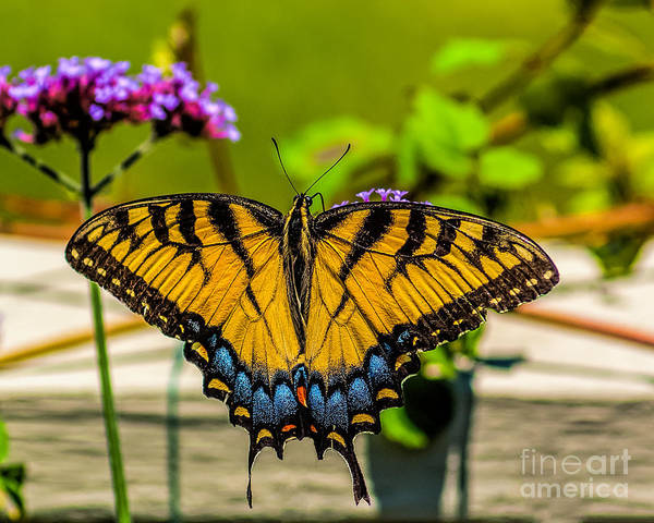 Photograph - Tiger Swallowtail Butterfly By Fence by Nick Zelinsky