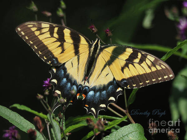 Photograph - Tiger Swallowtail by Dorothy Pugh