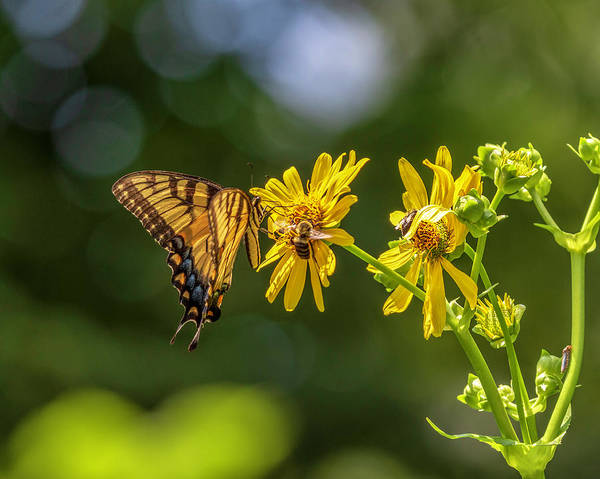 Photograph - Tiger Swallowtail by Keith Smith