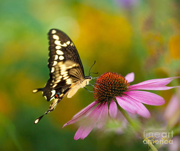 Photograph - Tiger Swallowtail On Cone Flower by Rikk Flohr