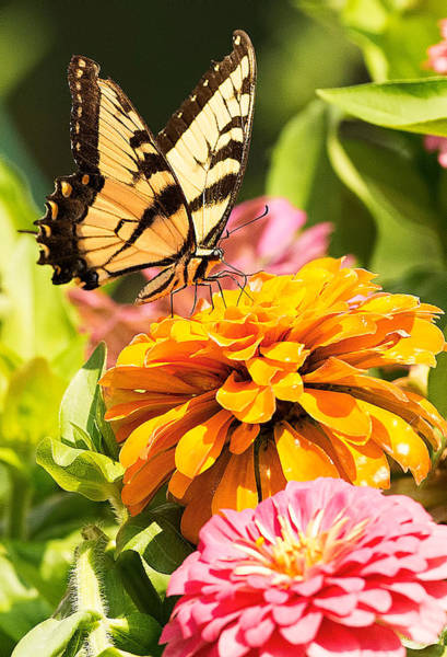 Photograph - Tiger Swallowtail On Zinnia by William Jobes