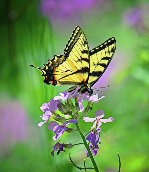 Photograph - Tiger Swallowtail by Rodney Campbell