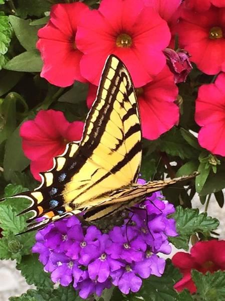 Photograph - Tiger Swallowtail by Sharon Duguay