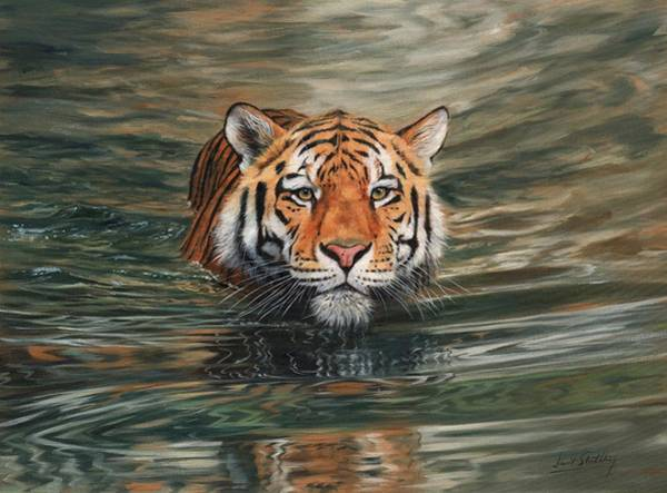 Bengal Tiger Painting - Tiger Swimming by David Stribbling