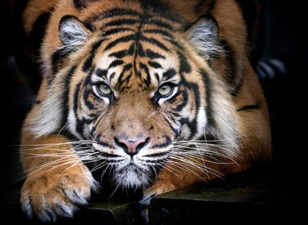 Photograph - Tiger by Tazi Brown