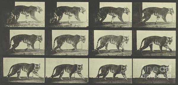 Wall Art - Photograph - Tiger Walking by Eadweard Muybridge