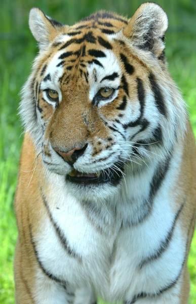 Wall Art - Photograph - Tiger X by Nicholas Rainsford