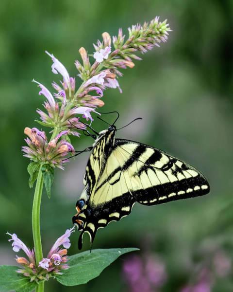 Photograph - Tigerr Swalowtail by Dawn Key