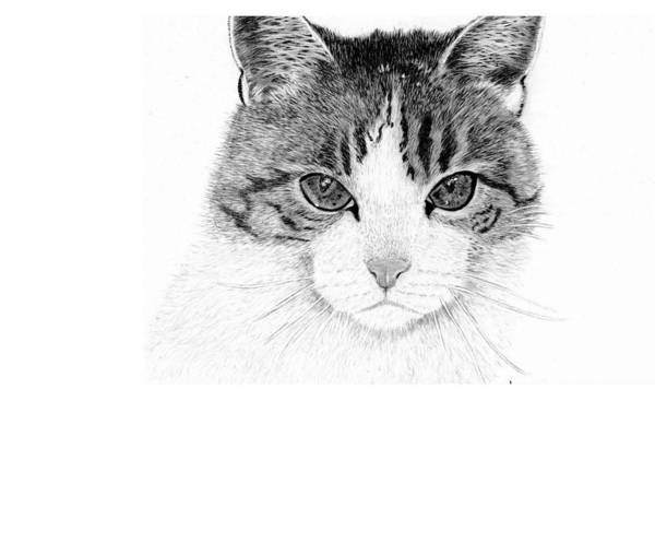 Furry Drawing - Tiggy by Rosanna Maria