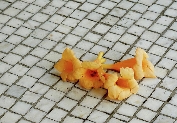 Photograph - Tile And Trumpet Blossoms by Cate Franklyn